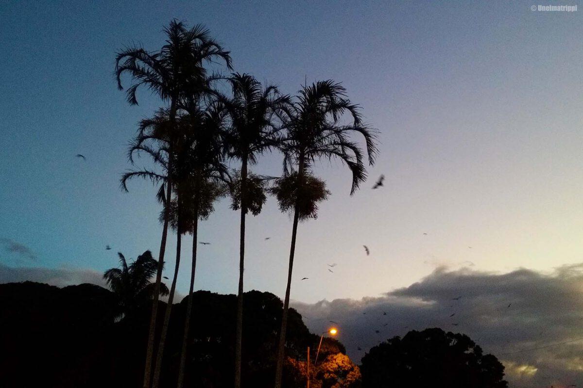 Jättilepakoita ja papukaijoja Cairnsin keskustassa