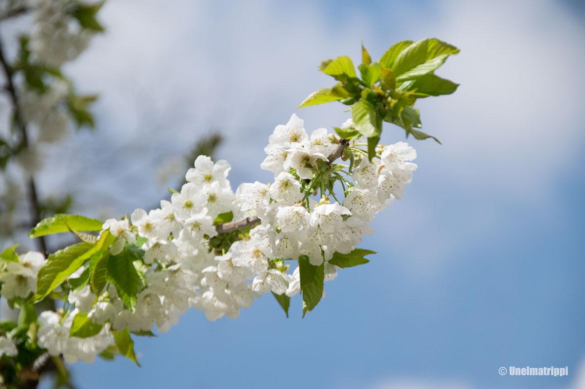 Madridin kasvitieteellisessä puutarhassa kukkii jo maaliskuussa